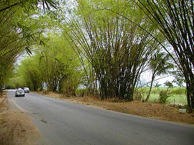 Touristic attractions of Jamaica : Bamboo Avenue